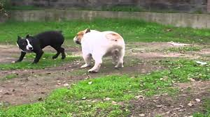 american bulldog vs pitbull fight. PITBULL VS BULLDOG For American Bulldog Vs Pitbull Fight