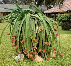 How Does Your Dragon Fruit Grow  Dragons Fruit Trees And PlantsDragon Fruit On Tree