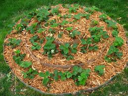 how to overwinter strawberries