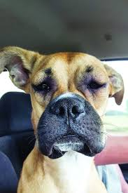 dog stung by a bee here s how to treat