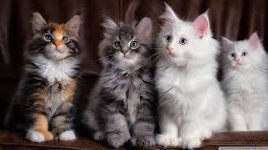 Maine Coon Kittens Mix Colors Prices The Expectancy Of