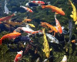 ... Photo of Koi Fish Pond HD (p.4842652) - Wall.