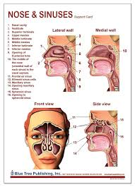 Sinus Chart Nose And Sinuses Anatomical Chart Laminated Card Science