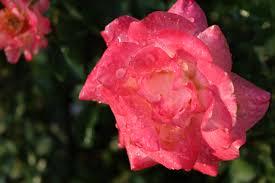 Resultado de imagen para agua de rosas