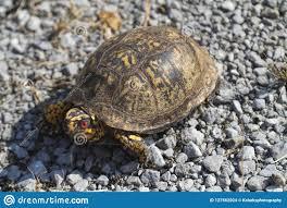 Red Eyed Male Eastern Box Turtle Terrapene Carolina Carolina