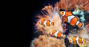 clown fish. Contemporary Fish Anemonefish With Clown Fish