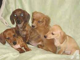dachshund puppies rescue az