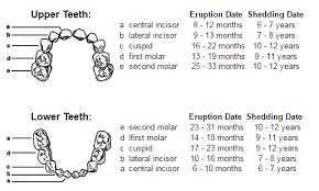Teeth Age Chart Children And Dentistry Ajax Dental Centre