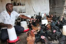 Kienyeji, Kenbro or Kuroiler? How I picked the chicken breed to keep ...