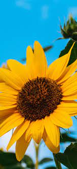 Sunflowers, yellow petals, blue sky ...