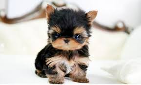 Image result for yorkie puppy
