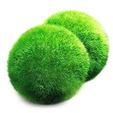 Decorative Moss Balls Amazon 60 Luffy Giant Marimo Moss Balls Bring home Japan's 50