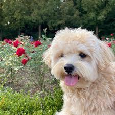 Teacup Maltese puppies adoption near me ...