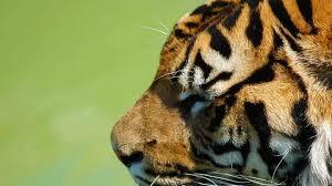 tiger face side. Delighful Face Tiger Side Face For