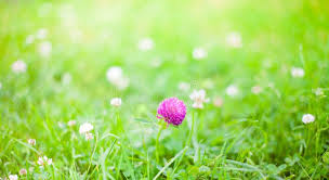 summer outdoors wallpaper. Simple Wallpaper Download Nature Summer Background With Clover Flowers Stock Image   Of Outdoors Flower On Outdoors Wallpaper E