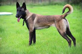 the malinois dog breed