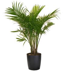 White Majesty Palm Most Houseplants Costa Farms in Indoor Palm Plants