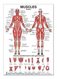 The Muscles Female Poster 12 17inch For Physical Fitness Working Out Muscular System Anatomical Chart