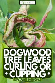 dogwood tree leaves curling or cupping