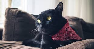 5 Fascinating Facts About Black Cats   Pumpkin Pet Care