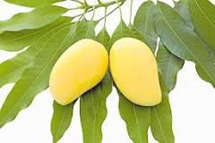 Resultado de imagen para beneficios del té hojas de mango