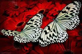 نتیجه تصویری برای پروانه های زیبا