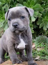 Brindle pattern and or white. Blue Staffordshire Bull Terrier Puppy Bullterrier Welpe Terrier Hund Hunderassen