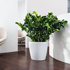zanzibar gem office plants melbourne office indoor plants27 plants