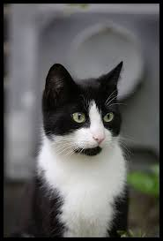283 best images about Tuxedo cats are truly elegant on Pinterest