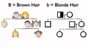 pedigree tree what are pedigree charts youtube