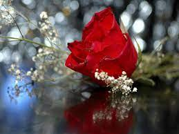 Red Rose Wallpapers Free Download Group ...