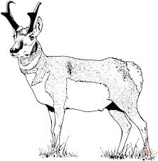 Small Picture Pronghorn coloring page Free Printable Coloring Pages