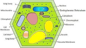 Difference Between Plant Cell And Animal Cell With
