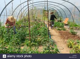 Gardeners Kitchen Gardeners In A Kitchen Garden And A Greenhouse Watering And