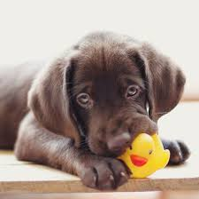 chocolate lab puppies. Delighful Puppies Chocolate Lab Puppy Chewing Rubber Ducky On Chocolate Lab Puppies