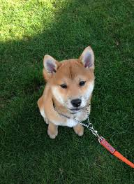 hello this is dog happy birthday. rigby the shiba inu puppy in grass / helllorigby! hello this is dog happy birthday