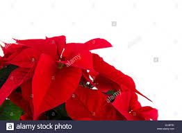 Detail Red Poinsettia Christmas Stock Photos Detail Red