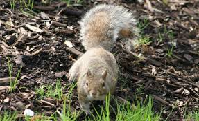 how to keep squirrels out of garden. Keep Squirrels Out Of Yard And Garden How To D
