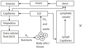 Lymph Flow Chart Observe The Following Flow Chart A What Is X In This