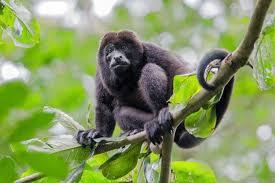 real jungle animals monkeys.  Animals Black Howler Monkey Amazon Rainforest Throughout Real Jungle Animals Monkeys