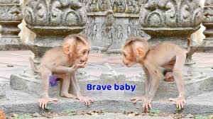 baby monkey niko very happy to walk with his independent nissa just walk follow and attention