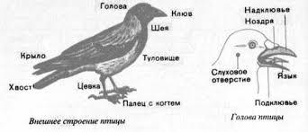Класс Птицы особенности строение тела и важнейшие отряды Таблица  внешнее строение птицы рисунок
