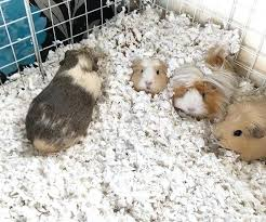 guinea pig bedding i expect them to do this guinea pig bedding