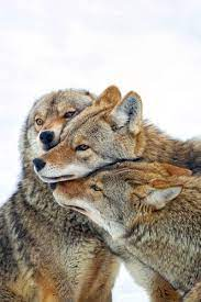 wallpaper 800x1200 coyote, wolves, pack ...