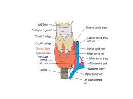 Thyroid Anatomy 3 1 Anatomical Relations And Blood Supply Of Thyroid Gland