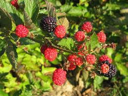 business plan raspberry blackberries amp raspberries south centers osu south centers the ohio state university blackberries amp raspberries