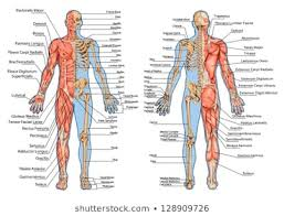 Muscle Anatomy Photos 105 165 Muscle Stock Image Results