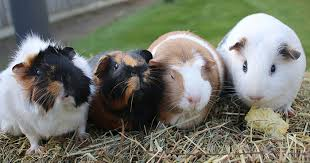 how to make your guinea pigs feel at