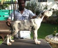 of great dane puppies available for here to view litter box please contact rohan menon 91 98943 22669 email rohan 213 yahoo co in
