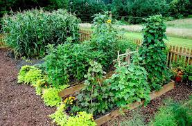 tall plants in a raised bed garden